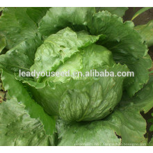 MLT05 Mali heat resistant hot sale iceberg lettuce seeds for planting